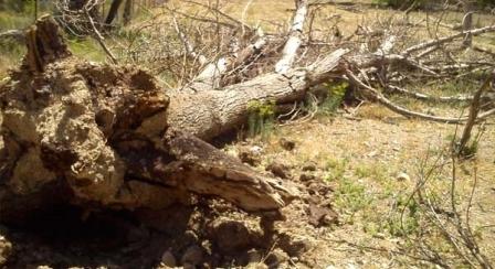 طوفان دماوند را درنوردید/ مرگ درختان کهنسال