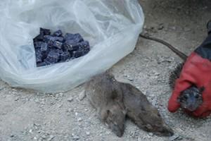 طرح طعمه گذاری و امحا موش ها در رودهن