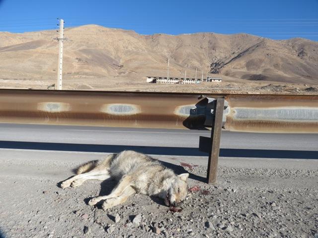 تلف شدن یک قلاده گرگ در حوالی روستای جابان