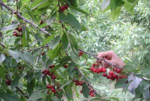برداشت بیش از سه هزار تن گیلاس و آلبالو از باغهای دماوند