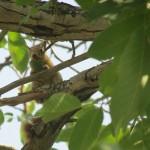 دستبرد سنجابها به گردوی باغداران دماوندی/تصاویر