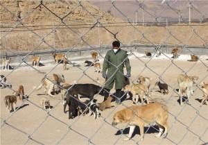 جمعآوری ۸۰ سگ ولگرد تاکنون در آبسرد