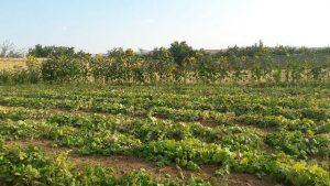 برداشت ۲۱ هزار تن محصول خیار و کدو از ۶۵۰ هکتار اراضی کشاورزی آبسرد