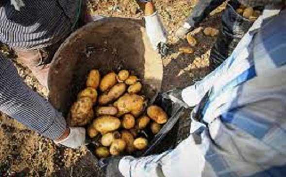 وجود مشکلات متعدد کشاورزان منطقه آبسرد را ناامید کرده است/ کشاورزان سالهاست که کشت عمده سیبزمینی را متوقف کردهاند