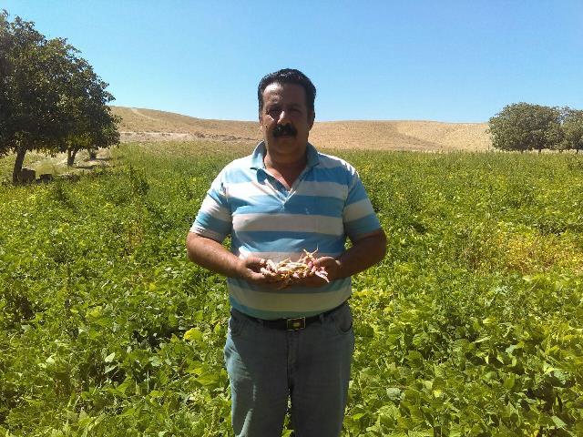 برداشت ۱۶ تن لوبیا چیتی از چهار هکتار زمین توسط یک کشاورز نمونه در منطقه هومند آبسرد