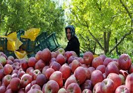 سیب تولیدی شهرستان دماوند برای عید امسال خریداری و ذخیرهسازی شده است/ ۲ هزار تن سیب درختی سهمیه استان تهران برای شب عید امسال میباشد