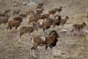 پایان سرشماری پستانداران شاخص استان تهران/ افزایش ۵ درصدی جمعیت حیات وحش استان
