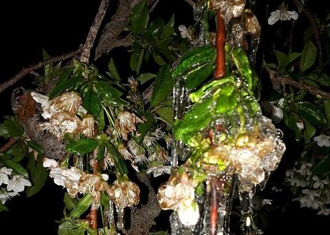 سرما به باغات میوه منطقه دماوند امان نداد/ خسارات سرمازدگی بالاست و امکان تعیین مشخص فعلاً مقدور نیست