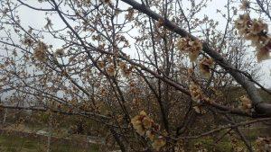 خسارت سرمازدگی بهاره به باغات محصولات میوه در شهرستان دماوند (1)