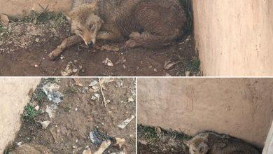 تصویر از رئیس اداره حفاظت محیط زیست دماوند خبر داد؛  نجات و رهاسازی یک قلاده گرگ وحشی در روستای خسروان دماوند + تصاویر و فیلم