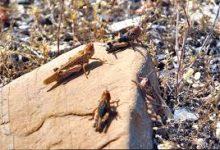 تصویر از مبارزه شیمیایی با کانون تجمع ملخها در 530 هکتار از اراضی دماوند/ ملخهای بومی آفت جدی محسوب نمی شوند/ کشاورزان نگران نباشند