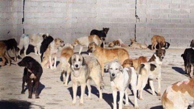 تصویر از جمعآوری ۹۶۰ قلاده سگ ولگرد توسط شهرداری آبسرد