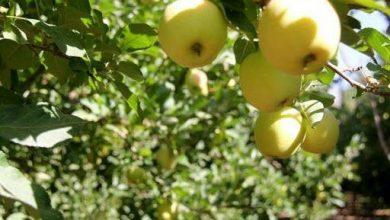 تصویر از رئیس اداره جهاد کشاورزی دماوند:  برداشت سیب از ۵۷۰۰ هکتار باغات منطقه دماوند + فیلم