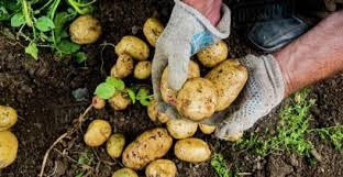 تصویر از مدیرجهاد کشاورزی شهرستان دماوند:  75 هکتار اراضی کشاورزی در دماوند زیر کشت سیب زمینی رفته است/ متوسط عملکرد تولید سیب زمینی در شهرستان دماوند حدود 27 تن در هکتار است